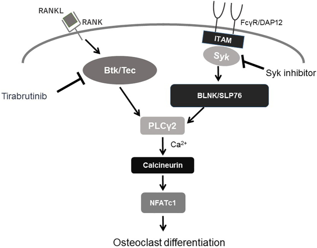 RANKL-RANK signaling pathway via Btk in osteoclast differentiation Tec family kinases are activated by RANK and bind to scaffolding proteins (BLNK or SLP76) activated by ITAM signaling, thereby forming a complex that cooperates to activate PLCγ2. PLCγ2 in turn stimulates calcium signaling, which is required for activation of NFATc1, a transcription factor essential for osteoclast differentiation. Our data suggest that ITAM signaling may be bypassed by RANK-RANKL signaling via Btk/Tec.