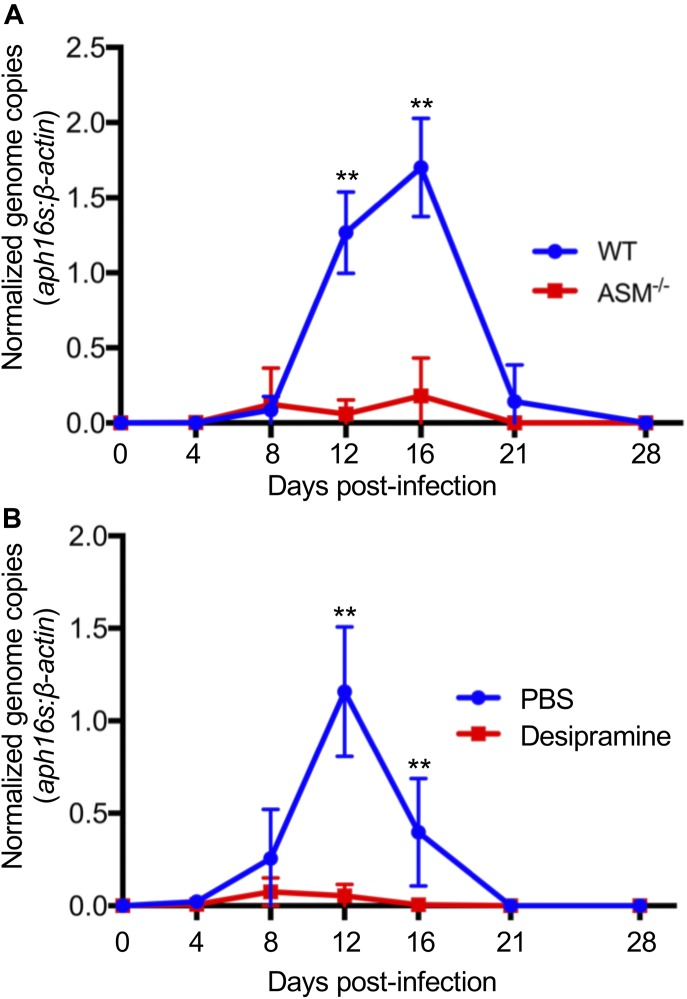 ASM is essential for A. phagocytophilum to productively infect mice. ( A ) A. phagocytophilum fails to productively infect ASM −/− mice. (A) ASMase −/− mice or WT mice were infected with A. phagocytophilum DC organisms. Peripheral blood drawn on days 4, 8, 12, 16, 21, and 28 d postinfection was analyzed by qPCR. Relative levels of the A. phagocytophilum 16S rRNA gene were normalized to those of β -actin using the 2 −ΔΔCT method. (B) Desipramine reduces the A. phagocytophilum DNA load in the peripheral blood when administered to infected mice. A. phagocytophilum –infected WT mice were administered desipramine or PBS on days 7 through 12 postinfection, and the bacterial DNA load in the peripheral blood was determined using qPCR. Error bars indicate SD. t test was used to test for a significant difference among pairs. Statistically significant ( **P