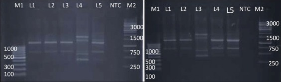 Random amplified polymorphic DNA - polymerase chain reaction profiles of Salmonella enterica isolates with NSC I. Plate 1-Lane M1: 100 bp ladder; Lane 1: Salmonella Lindenburg; Lane 2: Salmonella Lindenburg; Lane 3: Salmonella Lindenburg; Lane 4: Salmonella Rough; Lane 5: Salmonella Rough; Lane 6: NTC; Lane M2: 1 kb ladder and Plate 2 – Lane M1: 100 bp ladder; Lane 1: Salmonella Enteritidis; Lane 2: Salmonella Lindenburg; Lane 3: Salmonella Rough; Lane 4: Salmonella Rough; Lane 5: Salmonella Typhimurium; Lane 6: NTC; Lane M2: 1 kb ladder.