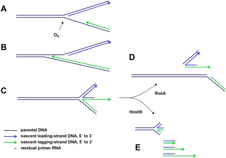 Proposed interpretations of mtDNA species detected by gel electrophoresis in  rnh 1 knockdown cells.  One of many possible scenarios is illustrated.  A , portion of a hypothetical replication intermediate with uncompleted lagging strand approaching the unidirectional replication origin ( O R ). A short residual RNA primer remains at the 5′ end of the leading strand.  B , the lagging strand proceeds beyond the leading-strand initiation point as far as specific, reiterated termination signals in the repeat II elements of the NCR.  C , impaired fork progression around the genome causes the origin structure to persist with eventual regression to form a chicken-foot structure that can branch-migrate (arc denoted by  blue arrow  in   Fig. 6 C ).  D , upon treatment with RusA, the four-way junctions resulting from these regressed forks are cut, generating effectively linear products.  E , HindIII digestion liberates linear fragments with lagging-strand 3′ ssDNA extensions derived from the regressed forks ( green arrows  in   Fig. 6 B ). These are digestible with S1 nuclease or exonuclease I, leaving a residual double-stranded species ( purple arrow  in   Fig. 6 B ).