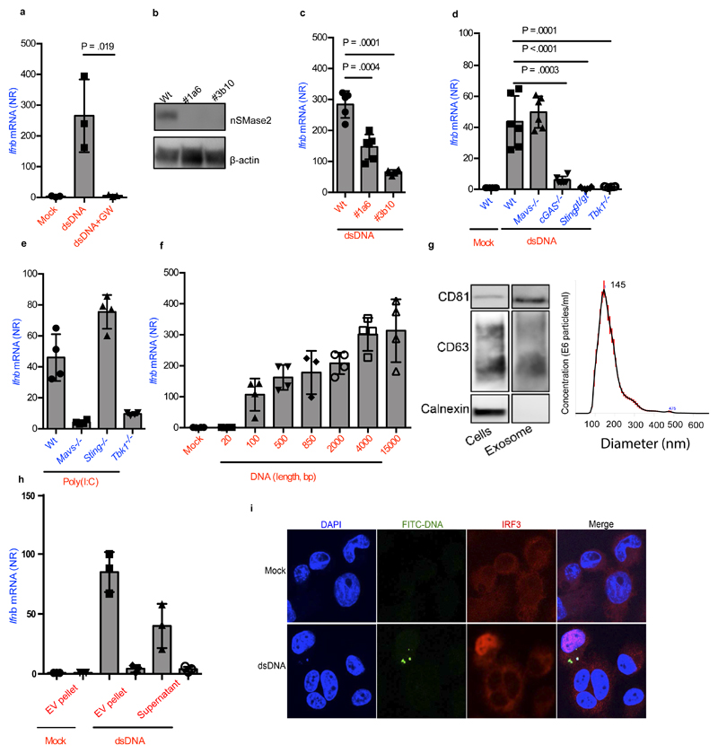 Foreign intracellular DNA stimulates IFNβ expression in bystander cells through EVs. ( a ) Ifnb induction in BMMs stimulated for 6 h with supernatants isolated from BMMs 18 h after Lipofectamine transfection with dsDNA (1μg/ml) in the presence or absence of GW4869 (10μM) (n=3). ( b ) Immunoblot analysis of two nSmase2 -/- MEF clones targeted with two different gRNAs (1a6, 3b10). ( c ) Ifnb mRNA levels in recipient Wt MEFs treated with supernatants from Wt or nSmase2 -/- MEFs transfected with DNA (n=6). ( d ) Induction of Ifnb mRNA in Wt, Mavs -/- , cGas -/- , Sting gt/gt and Tbk1 -/- cells upon stimulation with supernatants from Wt MEFs transfected with DNA (n=6). ( e ) Induction of Ifnb in Wt, Mavs -/- , Sting gt/gt and Tbk1 -/- MEFs upon stimulation with supernatant from cells transfected with poly(I:C) (1 μg/ml) (n=4). ( f ) Ifnb mRNA induction in MEFs stimulated with supernatants from donor cells transfected with dsDNA of the shown sizes (n=4). ( g ) Cellular lysates and isolated EVs were analyzed by Immunoblotting for exosomal markers CD81 and CD63, and the ER marker calnexin. The EVs were also subjected to Nanoparticle Tracking Analysis for evaluation of size distribution. The Red error bars indicate one standard error of the mean (+/-), while the black curve represents the mean of three independent measurements. ( h ) Induction of Ifnb mRNA in Wt MEFs stimulated with EVs from dsDNA- or mock transfected MEFs (+/- GW4869), and with the remaining supernatant from the EV isolation procedure (n=4). ( i ) PMA-differentiated THP1 cells treated for 4 hours with supernatants from Wt MEFs stimulated with FITC-labelled DNA were subjected to confocal microscopy for visualization of FITC and IRF3. Nuclei were stained with DAPI. Merge includes the bright field image. The presented data are representative of at least 3 independent experiments. The Ifnb mRNA levels were normalized to bactin mRNA levels and shown as relative levels compared to mock. Data are shown as mean ± S