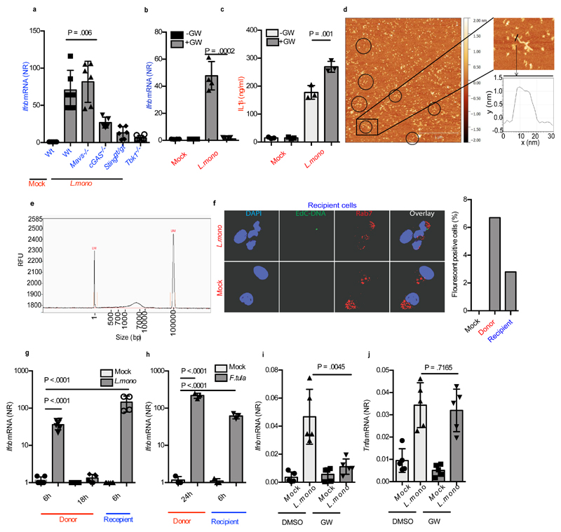 Listeria infection activates EV dependent stimulation of type I IFN expression in bystander cells. ( a ) Ifnb mRNA levels in Wt, Mavs -/- , cGas -/- , Sting gt/gt and Tbk1 -/- cells stimulated for 6h with supernatants from MEFs infected with L. monocytogenes (MOI 200) for 18 h (n=5). ( b ) Induction of Ifnb in MEFs (n=4) and (c) IL1β in the supernatants of BMMs (n=3) stimulated with supernatants from L. monocytogenes -infected MEFs in the presence or absence of GW4869 (10μM). ( d ) DNA extracted from EVs from supernatants of MEFs infected with L. monocytogenes (MOI 200) were analyzed by AFM. Circles are shown around extended structures with a width and height similar to DNA. Scale bar 500nm. The boxed part of the image is magnified in the image to the right for measurement of the height of exosomal DNA (~1.5 nm). ( e ) Fragment analyzer electrophoresis of DNA extracted from EVs from supernatants of MEFs infected with L.monocytogenes . Markers, 1 bp (left) and 100,000 bp (right). ( f ) Supernatants from Wt MEFs infected with EdC-labelled L. monocytogenes for 18 h, were transferred to recipient cells for 2h. The cells were stained for the early endosome marker Rab7 and EdC-labelled bacterial DNA was visualized using Click-it chemistry. The cells were analyzed by confocal microscopy. Nuclei were stained with DAPI. The graph to the right represents quantification of cells with positive fluorescent signal. For each treatment, more than 200 cells were examined (blinded). ( g ) Induction of Ifnb mRNA in MEFs infected with L. monocytogenes for 6h or 18h or treated for 6h with Gentamicin-treated supernatant from L. monocytogenes -infected MEFs (n=4). ( h ) Induction of Ifnb mRNA in MEFs infected with F.tularensis for 24h or treated for 6h with Gentamicin-treated supernatant from F.tularensis -infected MEFs (n=3). ( i, j ) Ifnb and Tnfa mRNA levels in spleens of mice left untreated or infected with L. monocytogenes (1x10 6 cfu) for 24 h in the presence of GW4869 (GW, 0.125 μg
