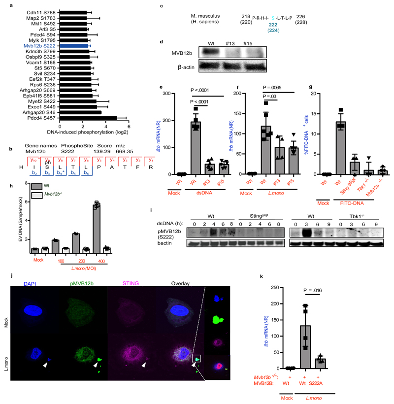 Sorting of foreign DNA into EVs require TBK1 mediated phosphorylation of MVB12b. ( a ) Top 20 induced phosphorylated peptides upon dsDNA transfection in MEFs plotted as median with range from four experiments. ( b ) MS/MS spectrum of the identified phosphorylation of serine 222 on Mvb12b. ( c ) Amino acid sequence of protein murine MVB12b from amino acid 218-226 flanking TBK1 phospho-target Serine 222. For comparison, human MVB12b is also shown. ( d ) Immunoblot for MVB12b and β actin on cell lysates from Wt and two Mvb12b -/- clones (made with independent gRNAs). ( e, f ) Induction of Ifnb mRNA in Wt MEFs stimulated with supernatants from Wt and Mvb12b -/- MEFs transfected with dsDNA (2μg/ml) (n=6) or infected with L.monocytogenes (MOI 200) (n=4). ( g ) Quantification of % FITC-positive recipient Wt MEFs after treatment with supernatants from the indicated MEF donor cells, transfected with FITC-DNA (1ug/ml) for 6h (n=4). ( h ) Quantification of DNA in EVs isolated from Wt and Mvb12b -/- MEFs infected with L.monocytogenes for 18 h using Picogreen (n=3). ( i ) Phosphorylation of MVB12b in Wt MEFs upon dsDNA stimulation compared to Sting gt/gt and Tbk1 -/- MEFs. β actin was used as loading control. ( j ) Co-localization of STING and phospho-MVB12b 6 h after infection with L.monocytogenes . Nuclei were stained with DAPI. ( k ) Induction of Ifnb mRNA in Wt recipient MEFs stimulated with supernatants from L.monocytogenes -infected Mvb12b -/- donor MEFs reconstituted with Wt or S222A mutants (n=4). The presented data are representative of at least 2 independent experiments. The Ifnb mRNA levels were normalized to bactin mRNA and shown as relative levels compared to mock. Data are shown as mean ± SD. P values were calculated using 2-tailed unpaired students t-test.