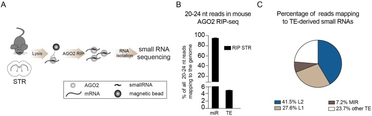 AGO2-associated small RNAs in the mouse brain. A) Schematics of AGO2 RIP-seq on mouse striatum (STR) followed by small RNA sequencing. B) Bar graph showing the percentage of reads of 20–24 nt in the mouse genome mapping to mature miRNAs (miR) and transposable elements (TE). Data are represented as mean ± SEM (RIP STR n = 3). C) Pie chart showing the percentage of reads mapping to TEs.