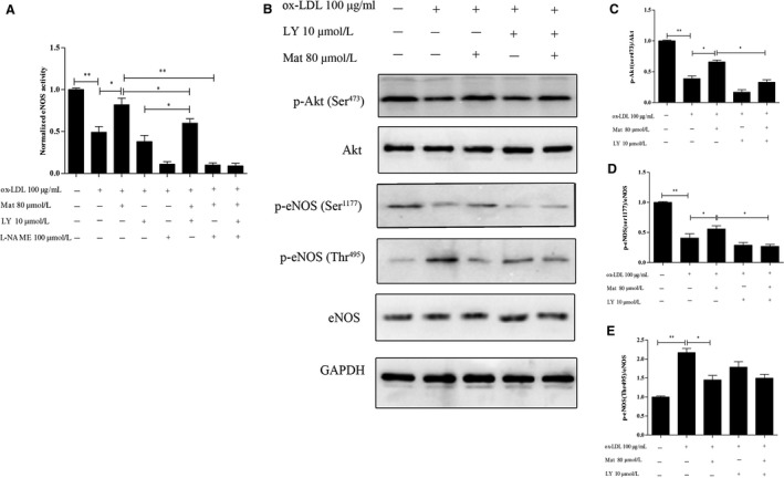 Effects of matrine on eNOS activity and PI3K/Akt/eNOS pathway‐related protein expression in ox‐LDL exposed HUVECs. A, Changes in eNOS activity in HUVECs exposed to ox‐LDL with or without matrine pretreatment along with matrine and/or LY‐294002/L‐NAME as measured using an eNOS activity assay kit. B‐E, Phosphorylation levels of Ser473Akt, Ser1177eNOS, Thr495eNOS, total Akt and the eNOS protein were measured by Western blotting. Representative images of three experiments; densitometric analysis of phosphorylated proteins was normalized to that of total proteins. Data are expressed as the mean ± SD of three independent experiments, * P