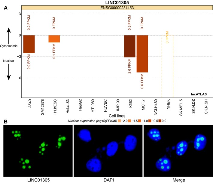 LncRNA LINCRNA is located in nucleus of SiHa cells. A, Prediction of LINC01305 subcellular localization in different cells through lncatlas.crg analysis. B, Verification of LINC01305 subcellular localization in SiHa cells (×400) whereby the nucleus was represented by blue, green represented the fluorescence localization of LINC01305, and the ruler = 25 μm. lncRNA LINC01305, long non‐coding RNA LINC01305; DAPI, Diamidino‐phenylindole