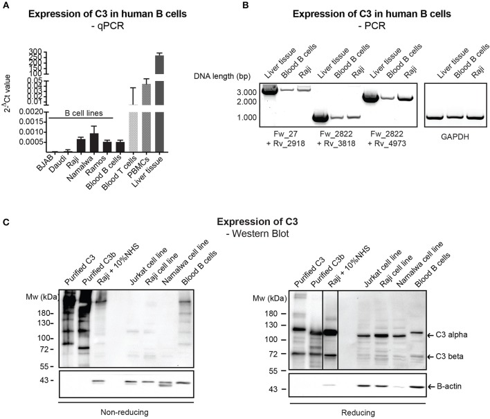 Endogenous expression of C3 is very low in <t>human</t> B cells. (A) RNA was isolated from malignant B cell lines and blood-derived B cells, reverse-transcribed and analyzed for C3 expression by qPCR. As positive control, blood-derived T cells, <t>PBMCs,</t> and total, liver tissue RNA were used. Data were normalized to the housekeeping HPRT gene and are shown as mean 2-dCt values with SD of three independent experiments. (B) The presence of full length C3 mRNA was confirmed by primer pairs, covering the whole region of human C3 coding sequence. As positive control, liver tissue RNA was used. Data shown are representative of three independent experiments. Numbers indicate DNA length in base pair (bp). The start positions of forward (Fw) and reverse (Rv) primers are shown under the gel picture. (C) Western blot results analyzing endogenous C3 expression of human B cells. Lysates prepared from the human B cell lines, Raji and Namalwa and blood-derived B cells and PBMCs were analyzed for the presence of C3 by Western blot with the goat polyclonal anti-C3 antibody from Quidel under non reducing and reducing conditions. As positive control, lysate of Raji cells incubated with 10% NHS in EDTA-GVB buffer was used. Results shown are representative of five independent experiments.