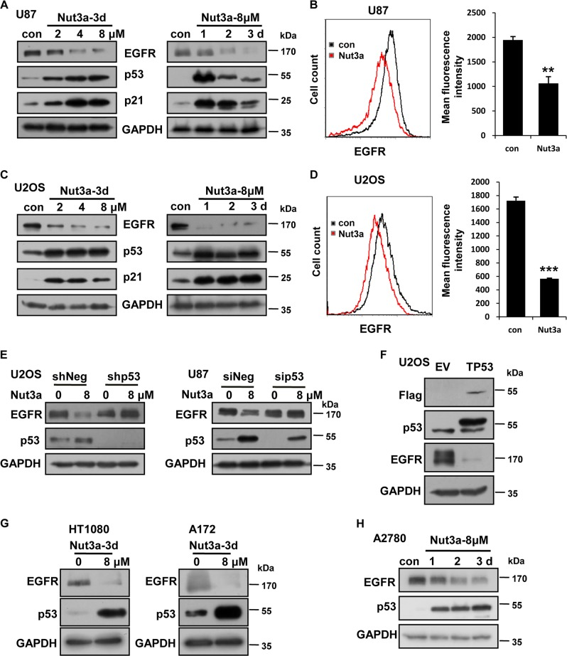 EGFR was downregulated by p53 activation in a subset of cancer cell lines. a , b Negative regulation of epidermal growth factor receptor (EGFR) by Nutlin-3a (Nut3a) in U87 cells. The protein levels of EGFR were determined by western blot ( a ) or by flow cytometry ( b , 8 μM for 72 h). Right, quantitative summary of EGFR expression by flow cytometry was shown. Representative results of three independent experiments were shown. c , d Negative regulation of EGFR by Nut3a in U2OS cells. c Western blot analysis of EGFR. d Flow cytometry analysis of EGFR in cells treated with Nut3a (8 μM) for 72 h. Right, quantitative summary of EGFR expression by flow cytometry. e Reduction of EGFR by Nut3a requires p53 function. Left, the protein levels of EGFR and p53 in U2OS cells transfected with pLKO.1-Puro-shNeg lentiviral vector or pLKO.1-Puro-shp53 lentiviral vector were measured 72 h after treatment with Nut3a. Right, U87 cells were transfected with small interfering RNA (siRNA) duplexes (200 nM) specific to p53 or negative oligo in serum-free medium for 4 h, and then were incubated with complete medium for 48 h. The protein levels of EGFR and p53 in U87 (siNeg and sip53) were measured 72 h after treatment with Nut3a (8 μM). f Downregulation of EGFR by ectopic expression of p53. p53 expression vectors were transfected into U2OS cells using Lipofectamine 2000, and cells transfected with empty vectors were as control. After 48 h, the cells extracts were examined by western blot for the determination of Flag, p53, EGFR. g , h EGFR was downregulated by Nut3a in HT1080, A172, and A2780 cells. The position of protein markers (in kDa) is indicated in each case. Immunoblots are representative of at least two independent experiments with glyceraldehyde 3-phosphate dehydrogenase (GAPDH) serving as a protein loading control. ** p