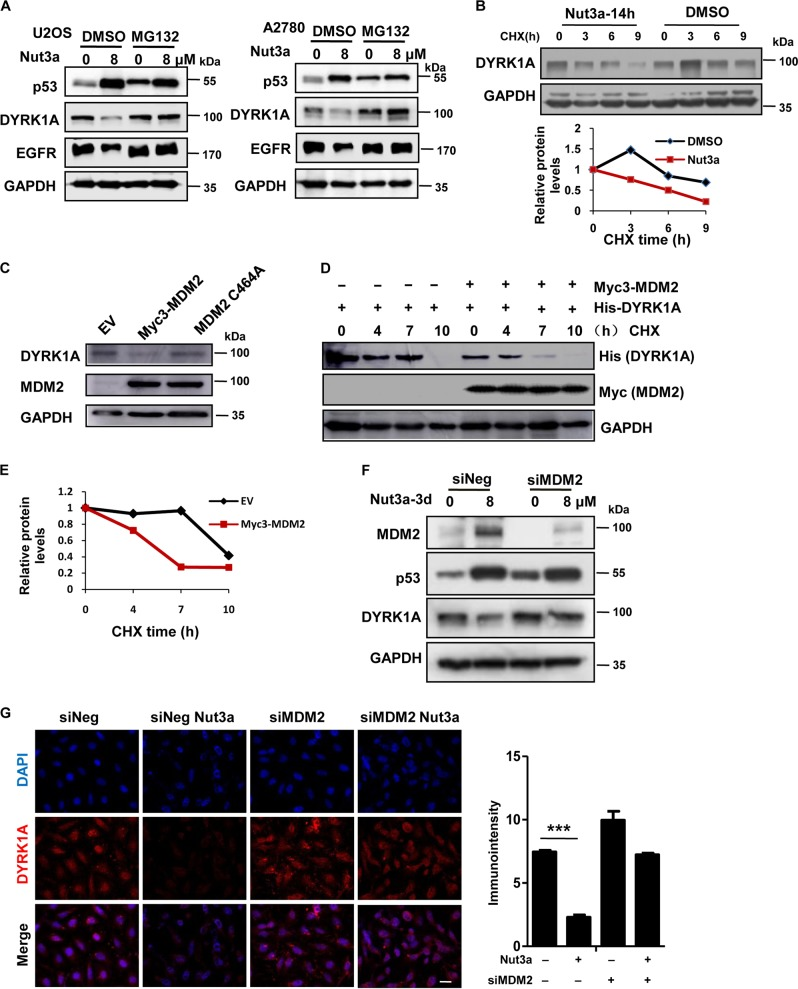 Negative regulation of DYRK1A by p53 is mediated by MDM2. a Downregulation of dual-specificity tyrosine-phosphorylated and tyrosine-regulated kinase 1A (DYRK1A) by p53 activation is attenuated by MG132. U2OS and A2780 cells were treated with 8 μM Nut3a for 48 h, and were then treated with 10 μM MG132 for the last 6 h before harvest. Protein levels of p53, epidermal growth factor receptor (EGFR), and DYRK1A were analyzed by western blot. b Nut3a shortens the half-life of DYRK1A proteins. U2OS cells were treated with dimethyl sulfoxide (DMSO) or 8 μM Nut3a for 17 h, and were then treated with 50 μg/mL cycloheximide for the indicated durations before harvest. Protein levels of DYRK1A were analyzed by western blot. Bottom: Signals on the immunoblots were analyzed by the ImageJ software (NIH, Bethesda, MD, USA) 45 and the DYRK1A protein amounts were normalized with that of glyceraldehyde 3-phosphate dehydrogenase (GAPDH). c Ectopic expression of MDM2 downregulates DYRK1A. pCMV-myc3-HDM2 (WT) and MDM2 C464A expression vectors were respectively transfected into U2OS cells using Lipofectamine 2000, and cells transfected with empty vector were as control. After 48 h, the cells extracts were examined by western blot for the determination of MDM2, DYRK1A. d MDM2 shortens the half-life of DYRK1A proteins. Co-transfection of His-tagged DYRK1A and Myc-tagged MDM2 or empty vector into U2OS cells, and cells were then treated with 50 μg/mL cycloheximide for the indicated durations before harvest. Protein levels of DYRK1A and MDM2 were analyzed by western blot. e Signals on the immunoblots of Fig. 5d were analyzed by the ImageJ software (NIH, Bethesda, MD, USA) 44 and the DYRK1A protein amounts were normalized with that of GAPDH. f Downregulation of DYRK1A by p53 activation requires MDM2. U2OS cells were transfected with small interfering RNA (siRNA) duplexes (200 nM) specific to MDM2 or negative oligo in serum-free medium for 4 h, and then were incubated with complete medium for 48 