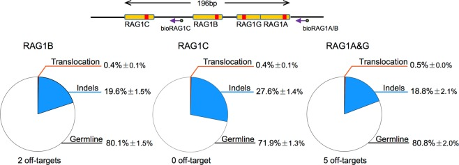 <t>Cas9</t> <t>nickase</t> shows lower off-target activity with loss of target editing efficiency. Schematic of RAG1A, RAG1B, RAG1C, and RAG1G target site positions. Purple arrows indicated the biotinylated primers used for primer-extension-mediated sequencing. Yellow boxes represented guide RNA target sites and red bars indicated Cas9 cleavage site. In the lower panels, pie graph showed the compositions of germline, indels, and translocation for indicated Cas9 treatment in HEK293T cells. Mean ± SD