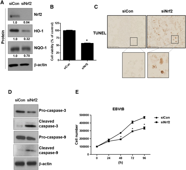 Suppression of Nrf2 induces apoptotic cell death in EBV-transformed B cells. EBV-transformed B cells were transfected with siRNA against Nrf2 for 48 hours. (A) Cell extracts were prepared from siRNA-Nrf2–transfected EBV-transformed B cells. The protein levels of Nrf2, HO-1, and NQO-1 were measured by Western blot analysis. The fold increase in Nrf2, NQO-1, and HO-1 is indicated numerically, as determined by densitometry. (B) Cell viability was evaluated by the MTX assay. The data are expressed as the mean ± S.D. * P