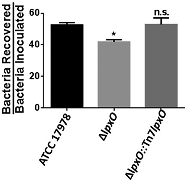 Deletion of lpxO increases human phagocyte-mediated killing of A. baumannii . Three hundred μl of fresh human blood (from three different donors) was mixed with 1 × 10 7 CFU of A. baumannii ATCC 17978, A. baumannii Δ lpxO mutant (Δ lpxO ), and A. baumannii Δ lpxO ::Tn 7lpxO mutant (Δ lpxO ::Tn 7lpxO ) and incubated at 37°C for 3 h. The bacterial counts recovered were then divided by the initial counts. Experiments were performed with duplicate samples on three independent occasions. *, P