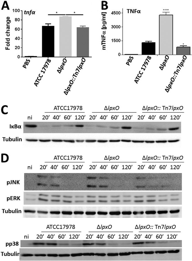 lpxO deletion in A. baumannii results in upregulation of inflammatory responses in macrophages upon infection. (A) tnf α expression in iBMDMs infected for 5 h with UV-killed A. baumannii ATCC 17978, A. baumannii Δ lpxO mutant (Δ lpxO ), and A. baumannii Δ lpxO ::Tn 7lpxO mutant (Δ lpxO ::Tn 7lpxO ) by reverse transcriptase quantitative real‐time PCR. Values are presented as the means ± SD from three independent cDNA preparations measured in duplicate. (B) TNF-α secretion by iBMDMs stimulated for 5 h with UV-killed A. baumannii ATCC 17978, A. baumannii Δ lpxO mutant (Δ lpxO ), and A. baumannii Δ lpxO ::Tn 7lpxO mutant (Δ lpxO ::Tn 7lpxO ). In panels A and B, P values were
