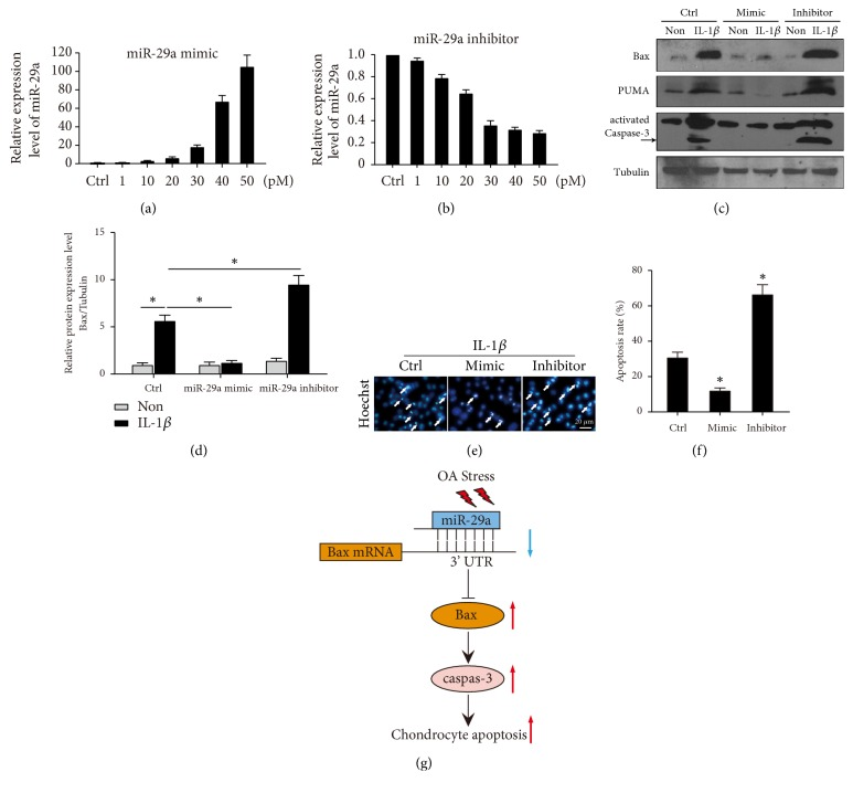 miR-29a/Bax axis contribute to IL-1β induced chondrocyte-like ATDC5 cell apoptosis . Cells were transfected with dose-dependent of miR-29a mimic (a) or inhibitor (b). The response levels of miR-29a were determined. (c) Representative immunoblots show Bax, PUMA, and cleaved Caspase-3 levels in IL-1 β induced chondrocyte-like ATDC5 cell with or without miR-29a mimic or inhibitor. (d) The relative expression levels of Bax were shown. ∗ donates p