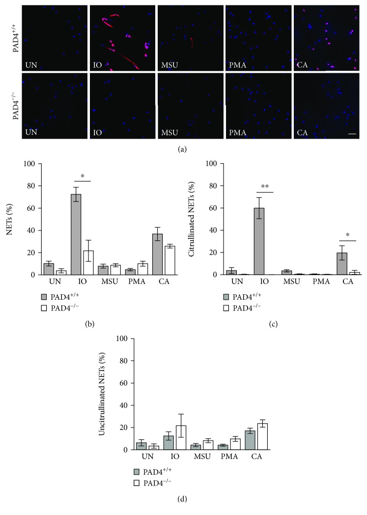 PAD4 is required for the formation of citrullinated NETs in murine neutrophils. Bone marrow neutrophils from PAD4 +/+ and PAD4 −/− mice were left untreated (UN) or were treated with ionomycin (IO), MSU, PMA, and C. albicans (CA), fixed, and stained with DAPI (blue) and anti-citrulline antibody (pink). (a) Representative images at 400x, scale bar = 50 μ M. The number of neutrophils and NETs were quantified. Graphs depict the average and SEM for percent of neutrophils that formed total NETs (b), citrullinated NETs (c), and uncitrullinated NETs (d) for each condition with percent NETs for each stimulant compared between PAD4 +/+ and PAD4 −/− mice. For all panels: n = 4; ∗ p