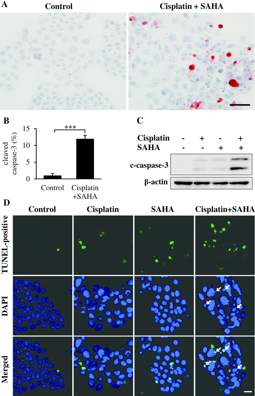 Effect of cisplatin and SAHA on induction of apoptotic cell death in VAT-39 cells. ( A ) Immunohistochemical localization of cleaved caspase-3 in 5 μM cisplatin and 2 μM SAHA-treated VAT-39 cells. ( B ) Counts of cleaved caspase-3-positive cells are shown in the bar graph. ( C ) Western blot analysis detected double bands of cleaved caspase-3 (17 kDa and 19 kDa). Isolated proteins (20 μg) were subjected to SDS-PAGE. β-actin (42 kDa) was used as a loading control. ( D ) Cell death was examined by TUNEL assay using the Mebstain apoptosis TUNEL kit. Arrows indicate TUNEL-positive cells among cisplatin and SAHA-treated cells. *** P