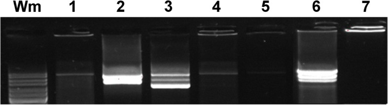 Amplicons of long range HPV16 PCR from established cell line from a tonsil carcinoma at passage 2 (lane 1) and 8 (lanes 2–5 show 2-fold dilution series of template input to PCR). Lane 1: passage 2, input 15 ng, lane 2: passage 8, 37 ng, lane 3: passage 8, 18 ng, lane 4: passage 8, 9 ng. lane 5: passage 8, 4.5 ng. Lane 6: positive control, 5000 copies of cloned HPV16. Lane 7: negative control, water. Wm: Gene Ruler 100–10,000 bp (Thermo Fisher Scientific). The arrow indicates the position of an amplicon of 7900 bp