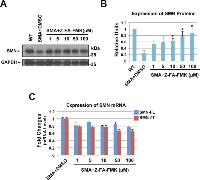 Effects of Z-FA-FMK on SMN protein expression in type II SMA patient fibroblast cells (GM22592). (A, B) In SMA type II fibroblast cells, vehicle (DMSO) or Z-FA-FMK were applied for 2 d; Western blot analysis revealed a dose-dependent increase in the expression of SMN proteins after treatment with Z-FA-FMK. n = 4. (C) qRT-PCR showing the mRNA expression in fibroblast cells after treatment with different concentrations of Z-FA-FMK. Data were presented as mean ± SEM, n = 3. * P