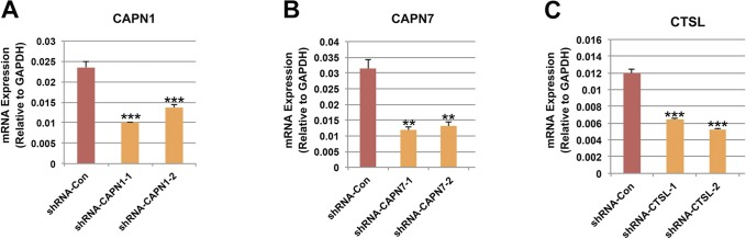 Knockdown efficiency of different shRNAs. (A–C) qRT-PCR showing the mRNA expression of CANP1 (A), CAPN7 (B), and CTSL (C) in HEK293 cells after transfection of shRNA targeting CAPN1 , CAPN7 , and CTSL , respectively. Two shRNAs were used for each gene, which all resulted in significant knockdown of the gene expression. Data were presented as mean ± SEM, n = 3. ** P