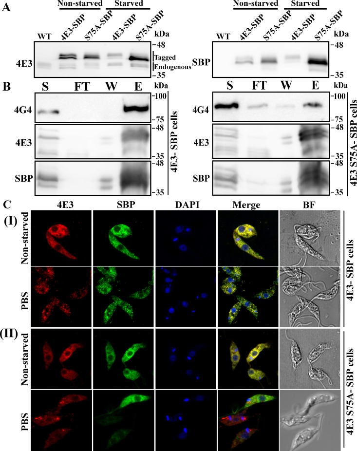 The S75A mutation of LeishIF4E3 leads to a decrease in granule formation in response to PBS starvation and to a reduced interaction with LeishIF4G-4. (A) Migration profile of the endogenous and tagged LeishIF4E-3 on SDS-PAGE under non-starved and starved conditions. Transgenic L . amazonensis promastigotes expressing either SBP-tagged LeishIF4E-3 or the S75A SBP-tagged mutant LeishIF4E3 were grown in complete DMEM or in nutrient-free buffer (PBS) for 4 h. Total cellular extracts were resolved on reduced bis-acrylamide SDS-PAGE and subjected to western analysis using specific antibodies against LeishIF4E-3, or against SBP tag. A non-starved parasite culture was used as control. (B) Co-purification of LeishIF4G-4 with SBP-tagged LeishIF4E-3 and S75A mutant LeishIF4E-3 under normal conditions. Non-starved parasites expressing either SBP-tagged LeishIF4E-3 or the S75A mutant LeishIF4E-3 were subjected to pull-down analysis over streptavidin-Sepharose beads. The eluted complexes were separated over 12% SDS-PAGE that were further subjected to western analysis using specific antibodies against LeishIF4E-3 or LeishIF4G-4. The gels were loaded with samples taken from the total supernatant prior to the pull down (S, 2%), the flow through fraction (FT, 2%), the final wash (W, 50%) and the eluted fraction (E, 50%). (C) Confocal analysis of SBP-tagged LeishIF4E-3 (I), or SBP-tagged S75A mutant LeishIF4E3 ((II), starved or non-starved. The cells were fixed, permeabilized and processed for confocal microscopy. LeishIF4E-3 was detected using rabbit anti-LeishIF4E-3 antibodies followed by incubation with anti-rabbit DyLight-labeled secondary antibodies (550 nm; red). Mutant SBP-tagged S75A LeishIF4E-3 was visualized using mouse monoclonal antibodies against SBP followed by incubation with anti-mouse DyLight-labeled secondary antibodies (488 nm; green). Nuclear and kinetoplast DNA was stained using DAPI (blue). Bright field pictures are shown on the right.