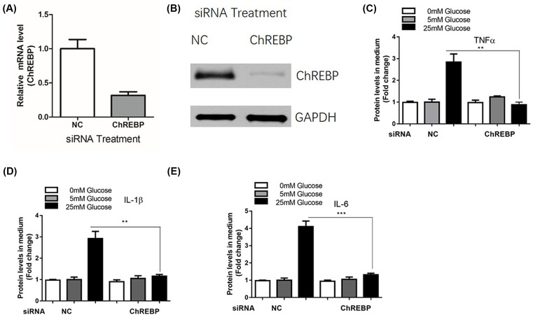 ChREBP mediated inflammatory reactions in mesangial cells induced by glucose administration SV40 MES 13 cells were transfected with control siRNA or siRNA against ChREBP for 48 h, the mRNA ( A ) and protein ( B ) levels of ChREBP were determined by real-time PCR and Western blot assay, respectively. SV40 MES 13 cells were transfected with control siRNA or siRNA against ChREBP for 24 h and treated with 5, 15, and 50 mM glucose for additional 48 h, the levels of inflammatory cytokines including TNF-α ( C ), IL-1β ( D ), and IL-6 ( E ) were determined by ELISA; ** P