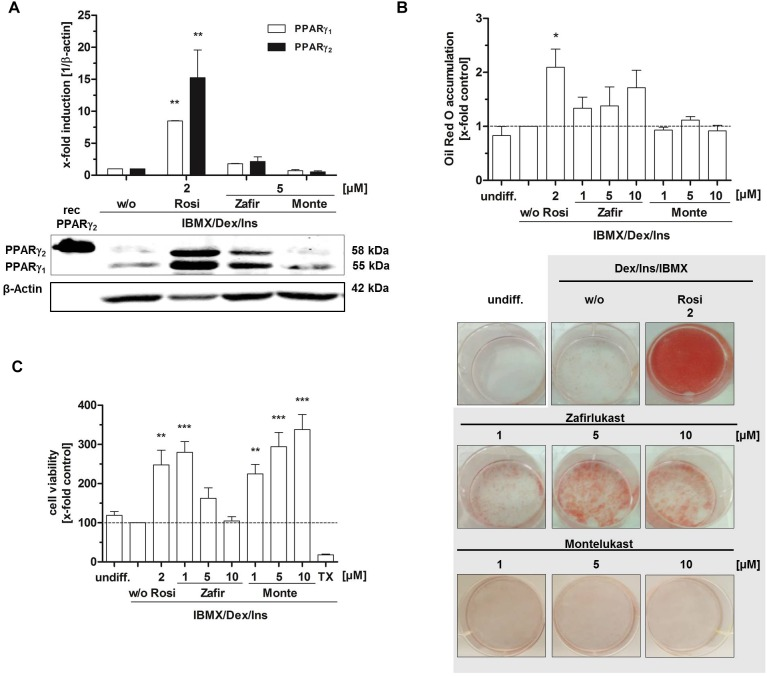 Influence of CysLT1RA on <t>3T3-L1</t> adipocyte differentiation. (A) Protein expression of PPARγ in 3T3-L1 adipocytes differentiated in the presence of 0.25 μM dexamethasone, 0.5 mM IBMX, 1 μg/ml insulin plus CysLT1RA or rosiglitazone (2 μM) or DMSO (w/o). One representative western blot out of three is shown. Photographs (B) and densitometric analysis of the lipid accumulation in 3T3-L1 adipocytes visualized by Oil Red O staining of the differentiated cells in the presence of montelukast and zafirlukast. Rosiglitazone and DMSO (w/o) were used as positive and negative control, respectively. One representative experiment out of three is shown. (C) WST-1 viability assay of <t>3T3-L1</t> cells treated with the compounds plus differentiation cocktail (0.25 μM dexamethasone, 0.5 mM IBMX, 1 μg/ml insulin) for 48 h. Ins, Insulin; IBMX, isobutylmethylxanthine; Monte, montelukast; Rosi, rosiglitazone; w/o, without PPARγ agonist; Zafir, zafirlukast. Significant changes versus the untreated control are indicated with an asterisk. ∗ P ≤ 0.05, ∗∗ P ≤ 0.01, ∗∗∗ P ≤ 0.001.