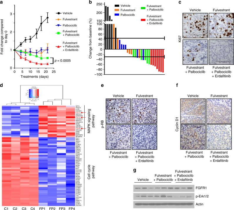 Combined inhibition of ER, CDK4/6, and FGFR1 inhibits the growth of ERα/ FGFR1 -amplified breast cancer PDXs. a ER+/HER2−/ FGFR1 -amplified TM00386 PDX fragments were established in ovariectomized <t>SCID/beige</t> mice supplemented with a 21-day release, 0.25-mg 17β-estradiol pellet. Once tumors reached ≥200 mm 3 , mice were randomized to the indicated treatment arms. Each data point represents the fold change in volume ± SEM ( n = 8 per arm; ANOVA test). b Bar graph showing the % change in volume in individual xenografts after 3 weeks of treatment relative to individual tumor volumes on day 0. c Xenografts were harvested after 1 week of treatment and FFPE tumor sections were subjected to <t>Ki67</t> IHC as described in Methods. The percent of Ki67+ tumor cells (inset) was assessed by an expert breast pathologist (P.G.E.) blinded to the treatment arm. d TM00386 PDXs in mice treated with vehicle or fulvestrant plus palbociclib were harvested and snap frozen at the end of treatment. RNA was extracted and subjected to nanoString analysis as described in Methods. Heat map represents different gene expression levels between controls ( n = 4) and tumors treated with fulvestrant plus palbociclib ( n = 4). e , f TM00386 PDXs were harvested at the end of treatment. FFPE sections from the PDXs were subjected to IHC with p-RB ( e ) and CCND1 ( f ) antibodies as described in Methods. The percent of p-RB and CCND1-positive tumor cells and their staining intensity were assessed by an expert breast pathologist (P.G.E.) blinded to the treatment arm to generate an H -score (shown in Supplementary figures ). g TM00386 tumors were harvested at the end of treatment, 4 h after the last dose of palbociclib and erdafitinib and 24 h after the last dose of fulvestrant. Tumor lysates were prepared and subjected to immunoblot analyses with the indicated antibodies