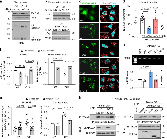 ATAD3A oligomerization impairs mitochondrial fission and mtDNA stability. HdhQ7 and Q111 cells were transfected with control siRNA (NC) or ATAD3A siRNA (siA) for 3 days. a Downregulation of ATAD3A was validated by WB. Actin: a loading control. Drp1 polymerization was analyzed by WB with anti-Drp1 antibodies in the absence of β-ME. b Mitochondria were isolated from HD striatal cells (Upper) and cells exposed to 5 mM 3-NP for 4 h (Lower). Drp1 mitochondrial level was analyzed by WB. Mitochondrial loading control: VDAC. c HeLa cells were transfected with ATAD3A-GFP truncated mutants, shown in Supplementary Fig. 3E , for 48 h. Cells were stained with anti-Tom20 (red) and anti-DNA (cyan) antibodies. The co-localization of DNA and Tom20 was analyzed by confocal microscopy. Insert: the enlarged images. Scale bar: 10 µm. d The number of nucleoids immunopositive for both anti-DNA and anti-Tom20 was quantitated by NIH Image J software. 40–50 cells per group were analyzed. Three independent experiments, one-way ANOVA with Tukey's post-hoc test. e Neuro2A cells were transfected with ATAD3A-Flag WT or mutants for 48 h, and total DNA was extracted for qPCR analysis to monitor the mtDNA lesion. Upper: Representative DNA agarose gel of the amplification of the 10 kb mtDNA fragment. Lower: The quantification of mtDNA lesion. Four independent experiments, one-way ANOVA with Tukey's post-hoc test. f mtDNA content was analyzed by qPCR using primers from D-loop (left). TFAM mRNA level was analyzed by qPCR (right). At least 3 independent experiments, one-way ANOVA with Tukey's post-hoc test. g Left: Cells were stained with mitoSOX fluorescent probe to evaluate mitochondrial superoxide production (mitoROS). Right: Cell death rate was measured by LDH release into cytosol. Four independent experiments, one-way ANOVA with Tukey's post-hoc test. h The binding of TFAM and biotinylated mtDNA LSP probe was determined by biotin-streptavidin pull down in HD striatal cells transfected with ATAD3A s