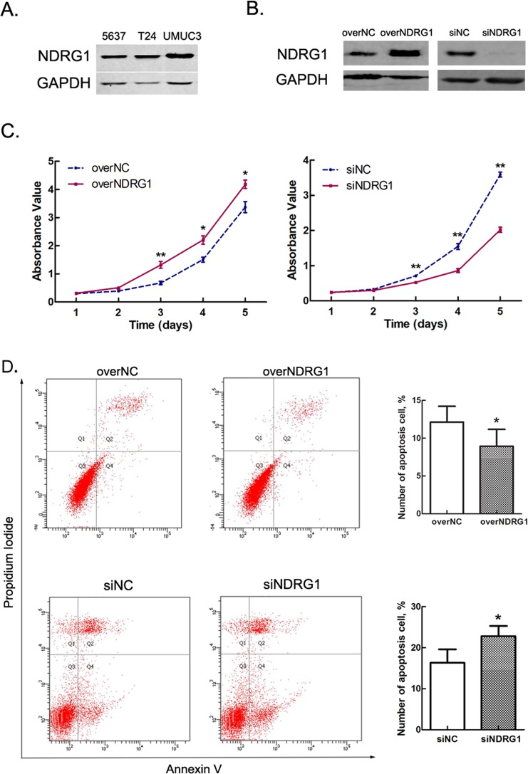 <t>NDRG1</t> promotes the vitality of bladder cancer cells. ( A ) Expression of NDRG1 in various bladder cancer cell lines. ( B ) Expression of NDRG1 in 5637 cells after transfection with NDRG1 overexpression plasmid or siRNAs. ( C ) High NDRG1 expression promotes the proliferation of 5637 cells; n = 3, *p