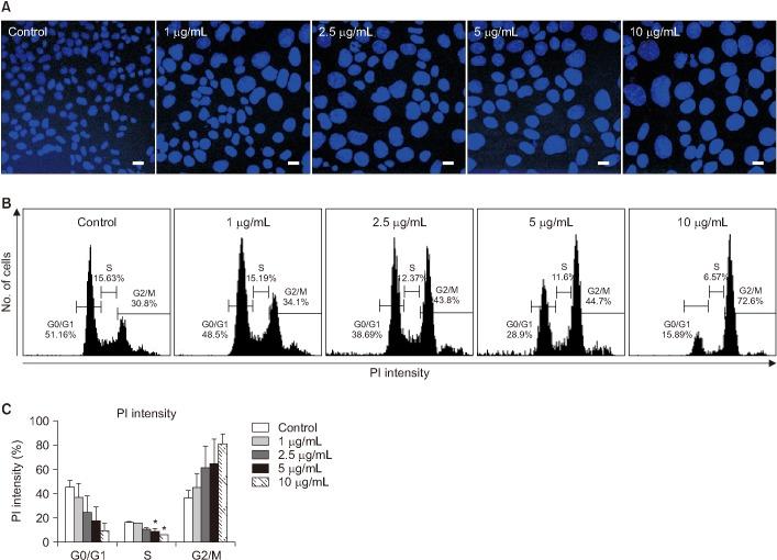 Evaluation of nuclear enlargement and cell cycle arrest induced in MLE-12 cells by bleomycin (BLM). (A) The image was obtained using DAPI staining in MLE-12 cells after BLM treatment. Scale bars=200 µm. (B) Propidium iodide (PI) staining was performed for cell cycle arrest in MLE-12 cells after BLM treatment. (C) Statistical analysis was each percentage of the field in the samples. * p