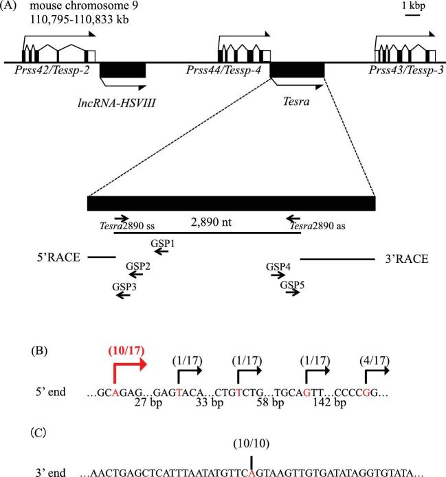 Cloning of a novel lncRNA, Tesra . (A) A schematic view of the Prss/Tessp locus on mouse chromosome 9. Exons of three Prss/Tessp genes are depicted by the black and white boxes representing translated and untranslated regions, respectively. Two lncRNAs that do not contain any introns are also depicted by the black boxes. The bent arrows indicate the transcriptional direction. Below the gene structure, the genomic region transcribed into Tesra is enlarged. A 2890-nucleotide sequence was first detected as a transcribed sequence by RT-PCR. 5′RACE was performed with three primers (GSP1–GSP3), and 3′RACE was performed with GSP4 and GSP5 primers. The resulting RACE products are indicated by horizontal lines. (B) 5′-end variations of Tesra determined by 5′RACE. A sequence around the 5′ end of Tesra that overlaps with the 3′ untranslated region of the Prss44/Tessp-4 gene is shown. The number of nucleotides between each sequence array is presented below. A specific band was obtained by 5′RACE, and 17 subclones were sequenced. The position of the 5′ end of each subclone is indicated by the red letters and the bent arrows with the number of subclones. Five TSSs were detected, and the most upstream adenine was determined to be a main TSS (indicated by a red arrow). (C) 3′ end of Tesra determined by 3′RACE. A specific band was obtained by 3′RACE, and 10 subclones were checked by DNA sequencing. In all subclones, an adenine was identified as a main transcriptional termination site, as indicated by a red letter and a vertical line.