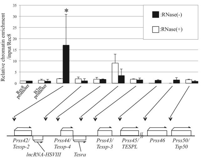 Tesra occupancy at the Prss/Tessp locus. ChIRP-qPCR for Tesra in mouse testicular germ cells was performed. Germ cells were collected from 21- to 22-day-old mouse testes, and nuclear extracts were prepared. Sonicated chromatin was hybridized with biotinylated tiling oligo probes, and the bound chromatin was collected by streptavidin beads. Purified genome DNAs were investigated by qPCR. Rec8 and B2m promoters that were located on different chromosomes from the Prss/Tessp cluster were amplified as negative controls. The value was normalized to that of the input sample, which was kept before hybridization, and further normalized to the level at the Rec8 promoter (=1.0). The relative chromatin enrichment at each position is shown by the black bars. The white bars show the data from the experiment with RNase in hybridization buffer as a negative control. Positions of amplicons are indicated by arrows below the graph. The data are presented as means ± SD from three independent experiments and were analyzed by one-way ANOVA followed by the Tukey post hoc test. * P