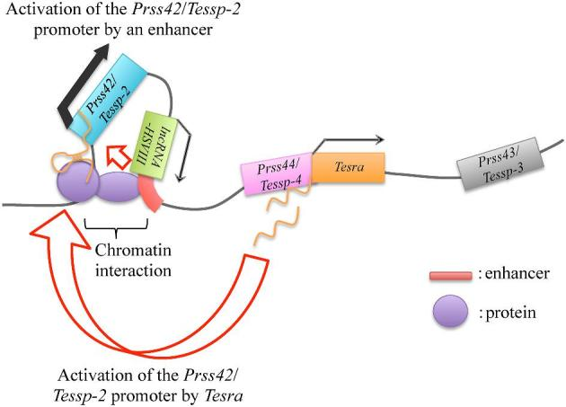 A hypothetical model for Prss42/Tessp-2 transcriptional activation. This figure indicates the hypothesized mechanism of Prss42/Tessp-2 gene activation based on our data. When spermatogonia divide into primary spermatocytes, the chromatin at the enhancer downstream of lncRNA-HSVIII begins to interact with that at the Prss42/Tessp-2 promoter, and thereby the enhancer is allowed to activate Prss42/Tessp-2 transcription. At a similar timing, Tesra transcripts are accumulated in the nuclei of primary spermatocytes and bind to chromatin at the Prss42/Tessp-2 promoter. The transcription level of Prss42/Tessp-2 is substantially enhanced by these two elements. There must be some proteins binding to Tesra transcripts and/or to the Prss42/Tessp-2 promoter.