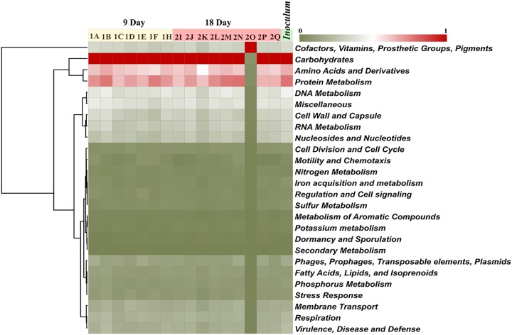 Predicted functional profile at the subsystem level of the microbiome in feral and gnotobiotic chickens. The pooled inoculum was derived from 6 healthy feral chickens. Birds were inoculated on day 3 after hatch and were euthanized at 9 days ( n = 7) and 18 days ( n = 9) of age, and cecal contents were collected for DNA isolation. The functional analysis was performed using subsystems information based on contigs from the MG-RAST database with an E value at 10 −5 , minimum identity at 60%, and a minimum read length of 100. Heat map was constructed in the Morpheus server ( https://software.broadinstitute.org/morpheus ) with a Euclidean distance matrix and average clustering method.