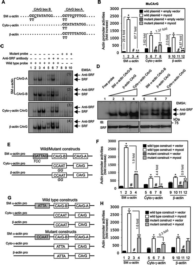 Myocardin-induced differential regulation of actin isoforms is CArG box and ATTA, CCAAT box dependent. (A) CArG box sequences from rat SM α-actin, cytoplasmic-γ-actin (Cyto-γ-actin) and β-actin promoters are aligned. Site mutations are shown in bold letters (CC in CArG boxes were replaced by TT). (B) Activated HSCs were cotransfected with luciferase reporter constructs containing wild type or the CArG box mutation as in (A) and a myocardin expression plasmid (Myocd) or empty vector. Cells were harvested 2 days later to detect for promoter activity. (C) After growth for 2 days after isolation, HSCs were exposed to the indicated adenoviral vectors for 3 days and 2 days later, they were subjected to EMSA to measure the effect of myocardin on SRF binding activity. SRF binding and supershifted bands are highlighted by arrows (lane 1, 2, 5, 8: nuclear extracts from HSCs infected with Ad-control virus; lane 3, 6, 9: nuclear extracts from HSCs infected with Ad-myocd virus; lane 4, 7, 10: nuclear extracts from HSCs infected with Ad-myocd-DN virus). Representative data from 3 independent experiments are shown. (D) EMSA was performed using nuclear extracts (10 μg) from activated HSCs and the same amount of different actin CArG box probes (1 × 10 5 cpm) as indicated. SRF binding and supershifted complexes were indicated by arrows (upper panel). Nuclear extracts were probed by anti-SRF antibody as loading control (bottom panel). Representative data from 3 independent experiments are shown. (E) A schematic diagram of wild type and mutant actin isoform promoters is shown (mutated nucleotides were indicated below the consensus sequences); (F) luciferase assays were performed as in (B). (G) A schematic diagram of exchanged elements (ATTA and CCAAT boxes) among SM α-actin, cytoplasmic-γ-actin (cyto-γ-actin) and β-actin promoters is shown; (H) luciferase activity assay was performed as in (B). (n=3, * p