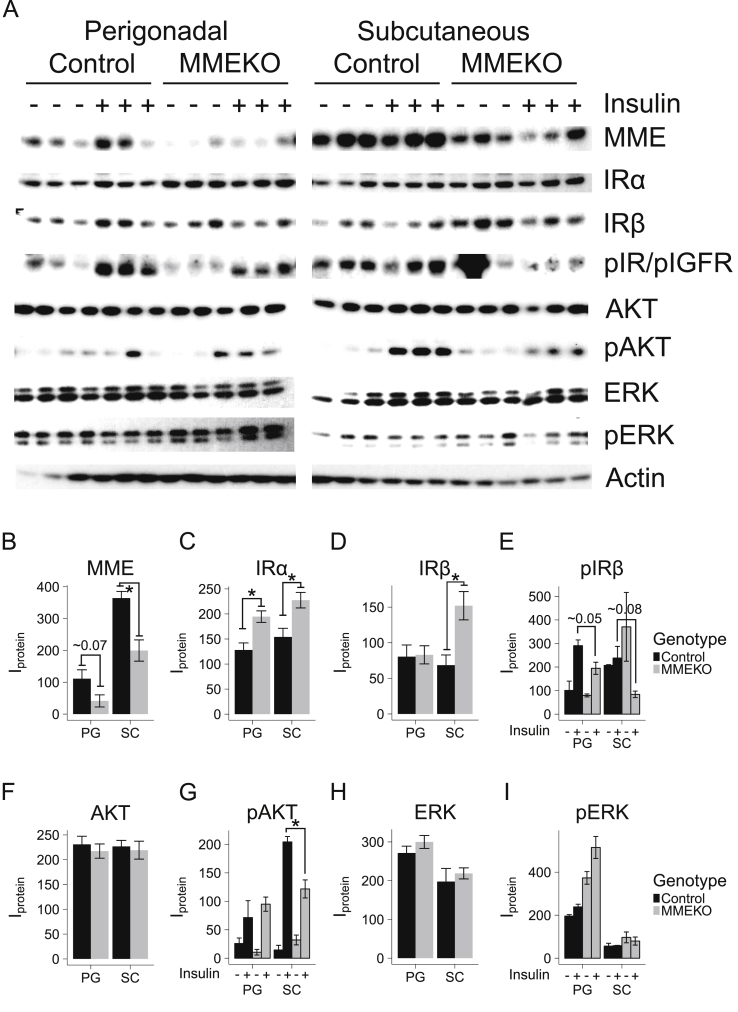 Subcutaneous and perigonadal MMEKO preadipocytes show impaired insulin signaling . MMEKO and control (wild-type C57BL/6) mice aged 12 weeks were sacrificed for in vitro insulin signaling. The stromal vascular cells (preadipocytes) from the subcutaneous (inguinal) and visceral (perigonadal) adipose depots were isolated. Cells were serum-starved for 4 h before a 20-minute insulin stimulation followed by protein isolation and western blot. (A) Western blot of protein of subcutaneous and perigonadal MMEKO preadipocytes showed impaired response among different insulin-signaling proteins. (B–I) Densitometric analysis of protein levels. The levels of unphosphorylated proteins were grouped by adipose depot (PG = Perigondal, SC = Subcutaneous) and genotype (black = Control, grey = MMEKO). The levels of phosphorylated proteins were grouped by adipose depot, genotype, and insulin stimulation (– = no insulin, + = 20 min after 100 μM insulin). Asterisks indicate p ≤ 0.05 by Student's t -test. N = 3. Bars indicate mean ± s.e.m.