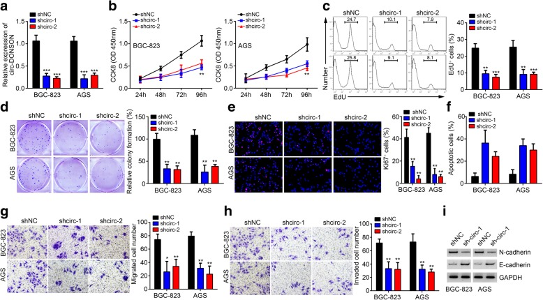 circ-DONSON silencing suppresses GC cell proliferation, migration and invasion, and induces apoptosis. a qRT-PCR was performed to confirm the relative expression of circ-DONSON in BGC-823 and AGS cells transfected with two independent shRNAs targeting circ-DONSON. b - e CCK8, EdU, colony formation and Ki67 staining assays was used to analyze proliferation of BGC-823 and AGS cells after circ-DONSON silencing. f Annexin/PI staining followed by FACS analysis indicated that circ-DONSON knockdown induced apoptosis. g , h Transwell assay illustrated that circ-DONSON knockdown suppressed the migration and invasion of BGC-823 and AGS cells. i Western blotting analysis of N-cadherin and E-cadherin expression in BGC-823 and AGS cells after circ-DONSON depletion. * P