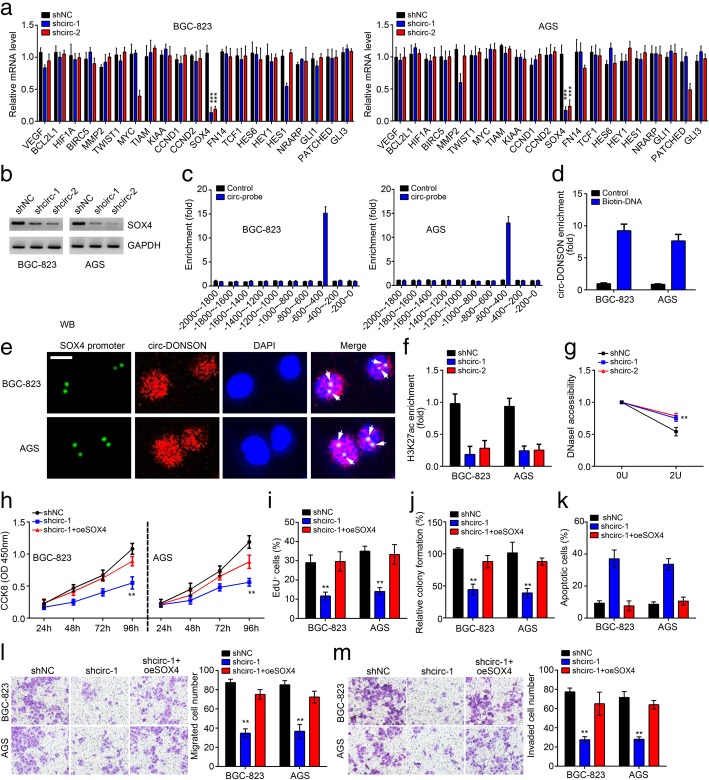 circ-DONSON regulates GC cell malignant behaviors through activating SOX4. a qRT-PCR analysis of indicated gene expression in BGC-823 and AGS cells after circ-DONSON depletion. b Western blotting result showed that circ-DONSON silencing suppressed SOX4 expression in BGC-823 and AGS cells. c ChIP assay was performed to measure the association of circ-DONSON with SOX4 promoter. d Pulldown assay showed that biotin-labeled SOX4 promoter region precipitated circ-DONSON in BGC-823 and AGS cell lysates. e DNA-FISH assay indicated the co-localization between circ-DONSON and SOX4 promoter in BGC-823 and AGS cells. Scale bar: 5 μm. f ChIP assay showed that circ-DONSON silencing led to decreased enrichment of active marker H3K27ac on SOX4 promoter in BGC-823 and AGS cells. g SOX4 promoter was more resistant to DNaseI digestion after circ-DONSON knockdown. h - j CCK8, EdU and colony formation assays were performed to detect cell proliferation. k Restoration of SOX4 reduced the apoptosis of BGC-823 and AGS cells induced by circ-DONSON silencing. l , m Restoration of SOX4 rescued the abilities of migration and invasion in circ-DONSON knocked down BGC-823 and AGS cells. ** P
