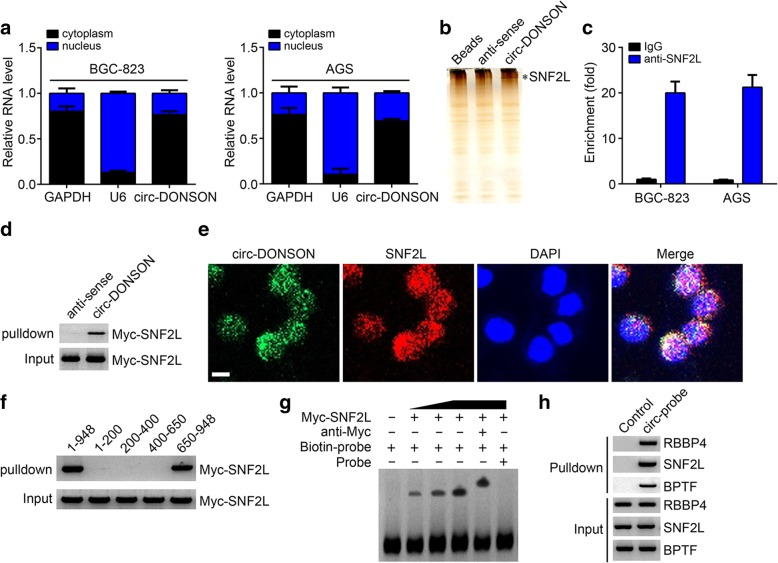 circ-DONSON associates with the NURF complex by directly interacting with SNF2L subunit. a qRT-PCR analysis showed that circ-DONSON was mainly localized in the nucleus of GC cells. b biotin-labeled linear circ-DONSON was used for incubation with BGC-823 cell lysates, followed by silver staining and mass spectrum identification. SNF2L was identified as a candidate for interaction with circ-DONSON. c RIP assay using anti-SNF2L showed that SNF2L precipitated circ-DONSON in BGC-823 and AGS cell lysates. d Pulldown assay confirmed that biotin-labeled linear circ-DONSON interacted with MYC-SNF2L. e RNA-FISH assay verified the colocalization between circ-DONSON and SNF2L in BGC-823 cells. Scale bar: 5 μm. f Domain mapping assay indicated that the region of 650–948 bp in circ-DONSON was essential for the interaction with SNF2L. g RNA-EMSA assay confirmed the interaction of circ-DONSON (650–948 bp) with SNF2L. h Pulldown assay using probes targeting circ-DONSON indicated that circ-DONSON interacted with the NURF complex in BGC-823 cells