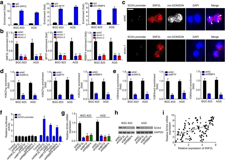 circ-DONSON recruits the NURF complex to activate SOX4 transcription. a ChIP assay showed that SNF2L, BPTF and RBBP4 were enriched on SOX4 promoter. b ChIP assay showed that circ-DONSON silencing attenuated the enrichment of SNF2L, BPTF and RBBP4 on SOX4 promoter. c DNA-FISH verified that circ-DONSON silencing abrogated the colocalization between SNF2L and SOX4 promoter in BGC-823 cells. Scale bar: 5 μm. d , e Depletion of SNF2L, BPTF or RBBP4 impaired the enrichment of active markers H3K27ac and H3K4me3 on SOX4 promoter. f Luciferase reporter assay showed that overexpression of SNF2L, BPTF or RBBP4 increased the luciferase activity while circ-DONSON silencing abrogated it. The SOX4 promoter region was constructed into the pGL3 luciferase vector. g , h <t>qRT-PCR</t> and western blotting analyses of SOX4 expression after knockdown of SNF2L, BPTF or RBBP4. i qRT-PCR analysis indicated that SOX4 expression was negatively correlated with SNF2L in GC tissues. ** P