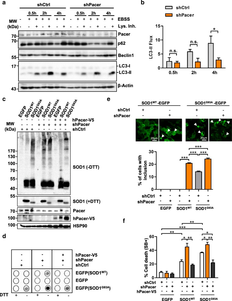 Depletion of Pacer impairs autophagosome formation and promotes SOD1 aggregation. a Autophagy flux under Pacer knockdown. Cells were treated with EBSS medium or/and lysosome inhibitors (Lys. Inh.) for 0.5, 2 and 4 h. Cell extracts were subjected to Western blot. As a mock control, a scrambled shRNA (shCtrl) construct was used. Pacer, Beclin1, p62 and LC3-II formation levels were determined. β-Actin serves as a loading control . b Densitometric quantifications of LC3-II flux (n = 3). One-way ANOVA and Bonferroni's post hoc tests were performed.Mean and SEM with only statistically significant p-values are shown: *, p ≤ 0.05. c-f , NSC34 cells depleted of Pacer were transiently co-transfected with expression vectors for human wild-type or mutant SOD1 G93A fused to EGFP. When indicated, human Pacer (hPacer-V5) was co-expressed. c and d , after 48 h, SOD1 aggregation was assessed under non-reducing (−DTT) conditions. Cell extracts were prepared in 1% Triton X-100 buffer or 1% SDS buffer for Western blot and filter trap assays, respectively. In c HSP90 serves as a loading control. e SOD1 inclusions in NSC34 cells were assessed by confocal microscopy. Percentages of cells with SOD1 WT -EGFP or SOD1 G93A -EGFP inclusions are shown. f Percentage of cell death was quantified at 72 h (SytoxBlue positive, SB+) in NSC34 stable lines expressing shPacer or shCtrl transiently transfected with EGFP, SOD1 WT or SOD1 G93A , and hPacer-V5. In e and f statistical analyses were performed using one-way ANOVA and Bonferroni's post-hoc tests. Mean and SEM with only statistically significant p-values are shown: *, p ≤ 0.05; **, p ≤ 0.01; and ***, p ≤ 0.001