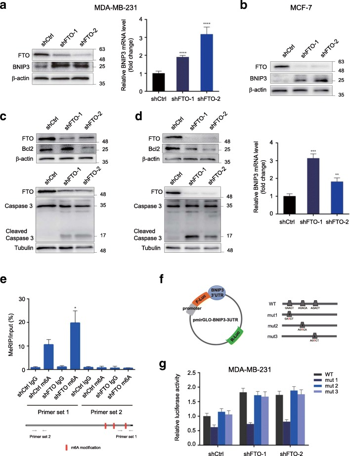 Epigenetic silencing of BNIP3 by an FTO-m6A-dependent mechanism. a - b BNIP3 expression was significantly up-regulated in both RNA and protein expression level in stable FTO-knockdown MDA-MB-231 cells ( a ) and MCF-7 cells ( b ). ** P ≤ 0.01, *** P ≤ 0.001, **** P ≤ 0.0001. c , d Knockdown of FTO promoted the cleavage of Caaspase 3 and decreased Bcl2 in MDA-MB-231 cells ( c ) and MCF-7 cells ( d ). e Knockdown of FTO promoted the m6A methylation in BNIP3 mRNA by the m6A MeRIP analysis. * P ≤ 0.05. f Wild-type or m6A consensus sequence mutant BNIP3 3'UTR was fused with firefly luciferase reporter. Mutation of m6A consensus sequences were generated by replacing adenosine with thymine. g Relative luciferase activity of the wild-type and 3 mutant BNIP3 3'UTR reporter vectors in FTO-knockdown MDA-MB-231 cells