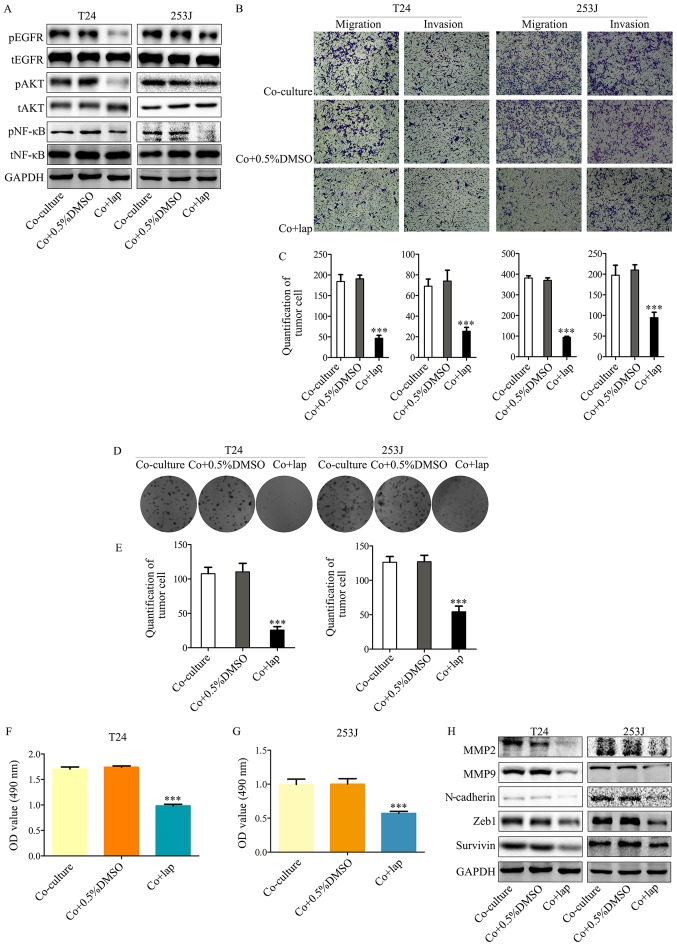 Inhibition of EGFR signaling in bladder cancer cells by lapatinib in a co-culture system abrogates co-culture induced cancer cell malignancy and proliferation. (A) Western blot analysis indicates that downstream EGFR signaling was inhibited by co-culture treatment with lapatinib. (B and C) Transwell migration assays indicated that co-culture induced malignancy of T24/253J is attenuated in the presence of lapatinib (magnification, ×200). (D and E) Colony formation assay indicated that the co-culture induced enhanced proliferation of T24/253J is ameliorated in the absence of EGFR signaling (magnification, ×200). (F and G) MTT assay determination of bladder cancer T24/253J cell proliferation following co-culture treatment with lapatinib. (H) Western blot analysis indicates that in co-culture system the proteins MMP2, MMP9, ZEB-1, survivin and N-cadherin were downregulated by inhibited EGFR signaling. *** P