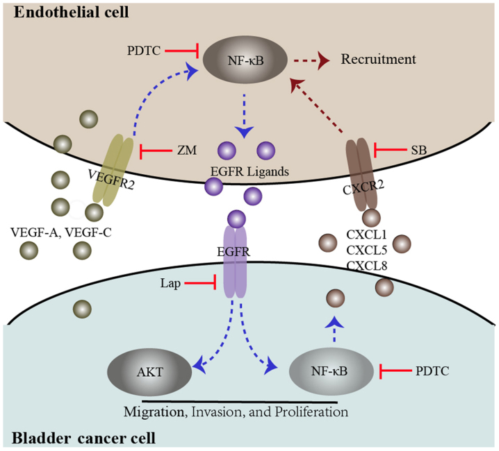 Diagram proposing a model for the interaction between bladder cancer cells and endothelial cells. In the co-culture system, both bladder cancer cells and endothelial cells secrete the VEGFR2 ligands VEGF-A and VEGF-C, which induce VEGFR2 signaling and downstream NF-κB signaling, promoting EGFR ligand expression. These events may be inhibited by a VEGFR2 inhibitor, ZM and an NF-κB inhibitor (PDTC). EGFR signaling in bladder cancer cells was triggered by EGFR ligands secreted by endothelial cells, which induces phosphorylation of AKT and NF-κB. These events enhance bladder cancer migration, invasion, and proliferation. Furthermore, activated EGFR signaling in bladder cancer cells could enhance endothelial cell recruitment through the upregulation of CXCL1, CXCL5 and CXCL8. These events could be inhibited by an EGFR inhibitor, lap, PDTC and a CXCR2 inhibitor, SB. VEGF, vascular endothelial growth factor; R, receptor; NF, nuclear factor; EGFR, epidermal growth factor receptor; ZM, ZM 323881 HCL; AKT, protein kinase B; lap, lapatinib; SB, SB225002.