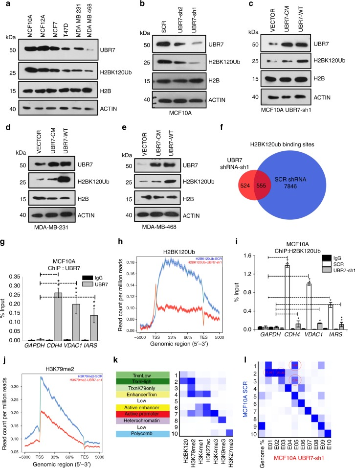 UBR7 is downregulated in invasive breast cancer cells. a Immunoblots of MCF10A, MCF7, T47D, MDA-MB-231, and MDA-MB-468 cells to monitor expression of UBR7, H2BK120Ub, and H2B. ACTIN was used as a loading control. b Immunoblots for UBR7, H2BK120Ub, H2B, and ACTIN (loading control) in MCF10A cells expressing scrambled (SCR), UBR7-sh1, or UBR7-sh2 shRNA. c – e Immunoblots for UBR7, H2BK120Ub, H2B, and ACTIN (loading control) in MCF10A UBR7-sh1 ( c ), MDA-MB-231 ( d ), and MDA-MB-468 ( e ) cells expressing wild-type (UBR7-WT) and catalytic-mutant (UBR7-CM) UBR7. ACTIN was used as a loading control. f Venn diagram showing overlap of total H2BK120Ub binding sites in Control (SCR) and UBR7-sh1-expressing MCF10A cells. g Bar plot for quantitative PCR (qPCR) enrichment of UBR7 chromatin immunoprecipitation (ChIP) in MCF10A cells for selected genes. GAPDH was used as a negative control. h Average genebody density plot for H2BK120Ub binding sites in Control (SCR) and UBR7-sh1-expressing MCF10A cells. i Bar plot for qPCR enrichment of H2BK120Ub ChIP in MCF10A cells expressing SCR or UBR7-sh1. GAPDH was used as a negative control. j Average genebody density plot for H3K79me2 binding sites in Control (SCR) and UBR7-sh1-expressing MCF10A cells. k Emission parameter for a 10-state chromatin state model called by the default parameters of ChromHMM. States in the left column were annotated based on their closeness to the nearest transcription start sites (TSS) and nature of constituent marks. l Overlap enrichment analysis displaying chromatin state transitions between MCF10A control (SCR) cells ( Y -axis) and MCF10A UBR7-sh1 cells ( X -axis). The most significant state transitions include losses of H2BK120Ub/H3K79me2 low (States 1 to 5), H2BK120Ub/H3K79me2 high (States 2 to 1 or 3) and H3K79me2 only (States 3 to 5), which are highlighted by red circles. In g , i , error bars indicate standard deviation (s.d.); n = 3 technical replicates of a representative experiment (out of three ex