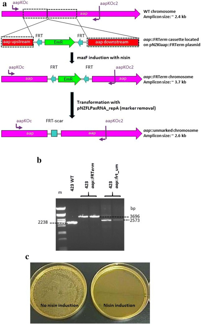 Gene inactivation and integration via homologous recombination into the genome of L. plantarum 423 at the aap adhesion gene locus to create L. plantarum 423 aap ::FRT erm and L. plantarum 423 aap ::frt_um (um-unmarked). a Homologous recombination between the wild-type (WT) L. plantarum 423 chromosome and the aap::FRT erm cassette and selection of unmarked aap double-crossover mutants. Boxed regions show the upstream and downstream regions of homology (~ 0.9 kb) on the WT L. plantarum 423 chromosome and plasmid pNZKIaap::FRTerm knock-in (KI) vector. Cells harboring the aap KI vector were selected on Cm and Em, followed by nisin induction for MazF toxin expression to select for mutants that have lost the plasmid backbone bearing cat and mazF genes. Double crossover mutants were selected and screened by PCR using the primer combinations indicated in purple. b PCR amplification of WT L. plantarum 423 and aap insertion mutants using the primer pair indicated in panel A. Additionally, the Em resistance marker was recycled via excision by FLP recombinase. (m) Lambda DNA digested with Pst I (NEB). Amplicons from one WT, two aap ::FRT erm insertion mutant and two aap ::unmarked colonies are shown. c MRS agar plates showing the effectiveness of the repA asRNA induction of FLP recombinase-bearing plasmid loss in the absence of nisin (no nisin induction) and in the presence of nisin (nisin induction). Colonies that have lost the repA -bearing plasmid were isolated via replica plating