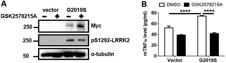 Treatment with LRRK2 kinase inhibitor suppresses the TNFα release in Myc-G2019S LRRK2-expressed BV2 cells. (A) After 6 h transfection, Vector or myc-GS cells were incubated with or without GSK2578215A in the fresh growth medium for 36 h. To validate the LRRK2 transfection and inhibition by GSK2578215A, cell lysates were analyzed using anti-myc and pS1292 antibody. (B) The culture medium was collected and concentrated using a 3 K filtration tube, and the medium was subjected to mouse TNFα ELISA. Two-way analysis of variance (ANOVA) using Tukey's multiple comparison test was used for the statistical analysis; **** p