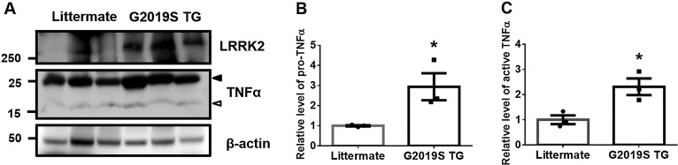 Protein levels of pro- or active-TNFα in brains of G2019S transgenic mice. (A) Brain lysates from littermates and GS TG mice were subjected to Western blot analysis. Arrowhead or empty-arrowhead denotes pro- or active-TNFα, respectively. (B-C) TNFα protein was normalized to the levels of β-actin. Student's T-test with two-tailed analysis was used for the statistical analysis; * p