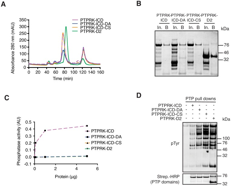 Purification of biotinylated recombinant PTPRK domains. ( A ) His- and Avi-tagged PTPRK domains were expressed in E. coli cultured in biotin-supplemented media and purified using Nickel-NTA beads, followed by size exclusion chromatography (SEC). DA = D1057A mutant. CS = C1089S mutant. ( B ) SEC-purified proteins bound to streptavidin resin were eluted and resolved by SDS-PAGE followed by Coomassie staining. In; input, B; beads. ( C ) The phosphatase activity of indicated amounts of purified proteins was assessed using the Biomol green assay with two tyrosine phosphorylated peptides as substrates and was quantified at 620 nm. ( D ) Recombinant proteins bound to streptavidin resin were used in pull down assays from pervanadate treated Hs27 fibroblast lysates. After extensive washing, bound proteins were eluted in sample buffer and analyzed by immunoblot.