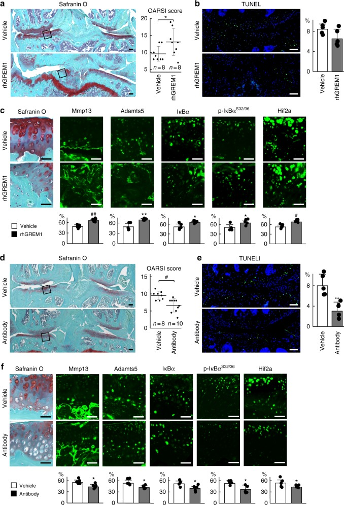 Effects of recombinant human gremlin-1 (rhGREM1) and gremlin-1 antibody in vivo. a Safranin O staining and OARSI scores of mouse knee joints after intra-articular administration (twice a week for 8 weeks) of 10 µL of 10 µg/mL rhGREM1 or vehicle. Both experimental groups consist of n = 8 biologically independent animals. Inset boxes indicate regions of immunofluorescence in ( c ). Scale bars, 100 µm. b TUNEL staining and rate of TUNEL-positive cells in mouse knee joints after intra-articular administration of rhGREM1 or vehicle. Nuclei were stained with DAPI (blue). Scale bars, 100 µm. n = 5 biologically independent experiments. c Safranin O staining and immunofluorescence of Mmp13, Adamts5, IκBα, phosphorylated IκBα (dual Ser32/36), and HIF-2α proteins in mouse knee joints after intra-articular administration of rhGREM1 or vehicle. Scale bars, 50 µm. The percentage of positive cells in the immunofluorescence is shown below. n = 5 biologically independent experiments. d Safranin O staining and OARSI scores of mouse knee joints after with intra-articular administration (twice a week for 8 weeks) of 10 µL of 10 µg/mL gremlin-1 antibody or vehicle. Both experimental groups consist of biologically independent animals: vehicle n = 8, antibody n = 10. Inset boxes indicate regions of immunofluorescence in ( f ). Scale bars, 100 µm. e TUNEL staining and rate of TUNEL-positive cells in mouse knee joints after intra-articular administration of gremlin-1 antibody or vehicle. Nuclei were stained with DAPI (blue). Scale bars, 100 µm. n = 5 biologically independent experiments. f Safranin O staining and immunofluorescence of Mmp13, Adamts5, IκBα, phosphorylated IκBα (dual Ser32/36), and HIF-2α proteins in mouse knee joints after intra-articular administration of gremlin-1 antibody or vehicle. Scale bars, 50 µm. The percentage of positive cells in the immunofluorescence is shown below. n = 5 biologically independent experiments. All data are expressed as mean ± SD. * P